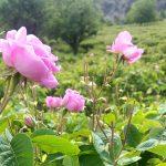 Rosa Damascena ve farmakolojik etkileri